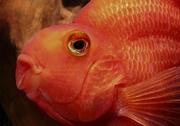 Красный попугай (лат.Red Parrot Cichlid)