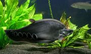 Рыба хитала орната (лат. Chitala ornata)