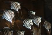 Скалярия Зелёный ангел (фольгированная).(Green Angel Scalare)