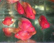 Попугай красный + 1 рыбка в подарок )