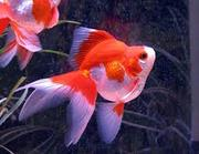 (Золотая рыбка) Риукин