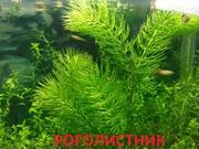 Роголистник ---- НАБОРЫ растений для запуска