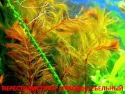 Перестолистник красный и растения ---- НАБОРЫ растений для запуска...