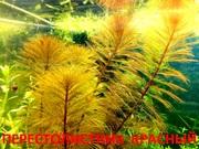 Перестолистник красный. НАБОРЫ растений для запуска. ПОЧТОЙ вышлю-