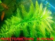 Перестолистник зеленый. НАБОРЫ растений для запуска. ПОЧТОЙ вышлю-