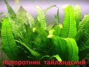 Папоротник тайландский. НАБОРЫ растений для запуска. ПОЧТОЙ вышлю--