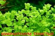 Микронтемум тенистый. Наборы растений для ЗАПУСКА. ПОЧТОЙ вышлю----