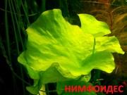 Нимфоидес. НАБОРЫ растений для запуска. ПОЧТОЙ вышлю------