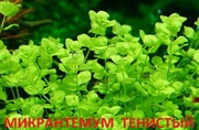 Микронтемум тенистый. Наборы растений для ЗАПУСКА. ПОЧТОЙ вышлю==