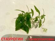 Стаурогин зеленый - почвопокровка. НАБОРЫ для запуска. ПОЧТОЙ вышлю=