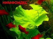 Нимфоидес. НАБОРЫ растений для запуска. ПОЧТОЙ вышлю----------------