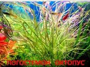 Погостеон октопус. НАБОРЫ растений для запуска. ПОЧТОЙ вышлю======