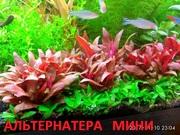 Альтернатера мини. НАБОРЫ растений для запуска. ПОЧТОЙ вышлю