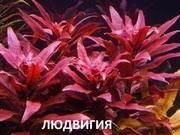 Людвигия гландулоза и др растения. НАБОРЫ растений для запуска. ПОЧТО