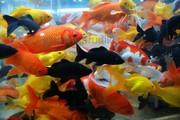 Прудовая рыбки