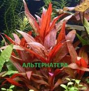 Альтернатера рейника и др. растения. НАБОРЫ растений для запуска аквас