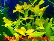 Дубок мексиканский. НАБОРЫ растений для запуска акваса. ПОЧТОЙ отправл