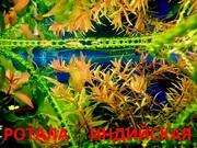 Ротала. НАБОРЫ растений для запуска акваса. ПОЧТОЙ отправлю почтой3