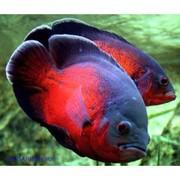 Acтpoнотус красный