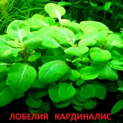 Лобелия кардиналис. НАБОРЫ растений для запуска акваса. ПОЧТОЙ отпра/