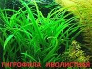Гигрофила иволистная. НАБОРЫ растений для запуска акваса. ПОЧТОЙ отп/