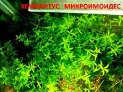 Хемиантус микроимоидес и др. аквариум-е растения,  наборами для запус//