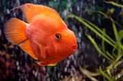 Пoпyгай оранж+рыбка в подарок)
