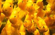 Пoпyгай желтый+рыбка в подарок)