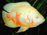 Acтрoнoтyс альбино