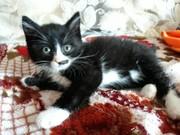 Котенок во фраке ищет дом и любящих хозяев